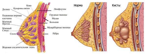 устройство молочной железы