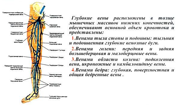 вены нижних конечностей